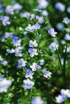 Veronica filiformis bloemen - kleine blauwe bloemen bloeiden in de tuin. natuurlijke achtergrond voor lentethema. zacht beeld met selectieve focus.