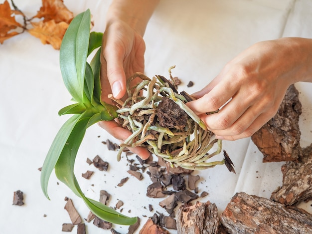 Verplant planten. verplant orchideeën. tuinieren, veredeling van orchideeën.