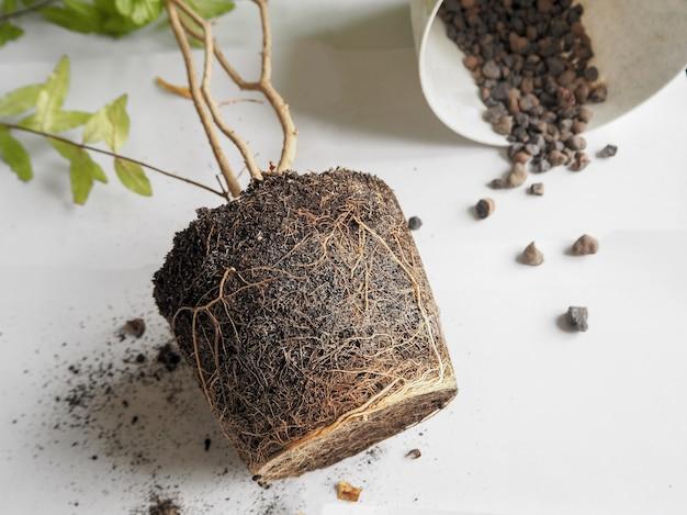 Verplanten van seizoensplanten. gezonde plantenwortels. verplant de granaatappel.