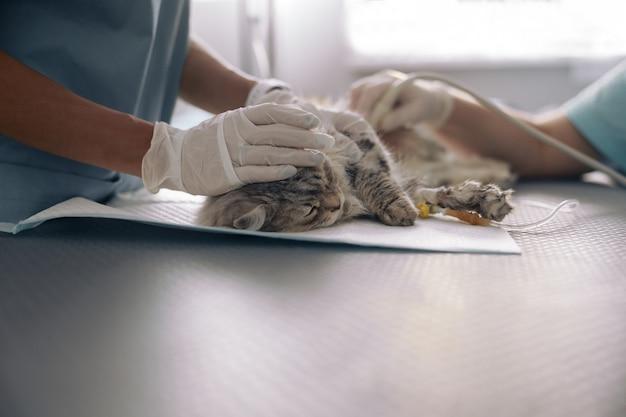 Verpleegkundige kalmeert grijze kat terwijl dokter echografisch onderzoek doet in dierenkliniek