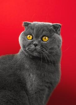 Verrast kattenstudioportret, blauwe schotse vouw en dierlijke emoties, uitdrukkingen, rode geïsoleerde achtergrond, kopieer ruimtefoto