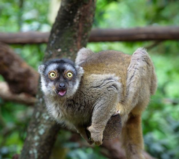 Verraste maki zit op een boomtak met grappig gezicht