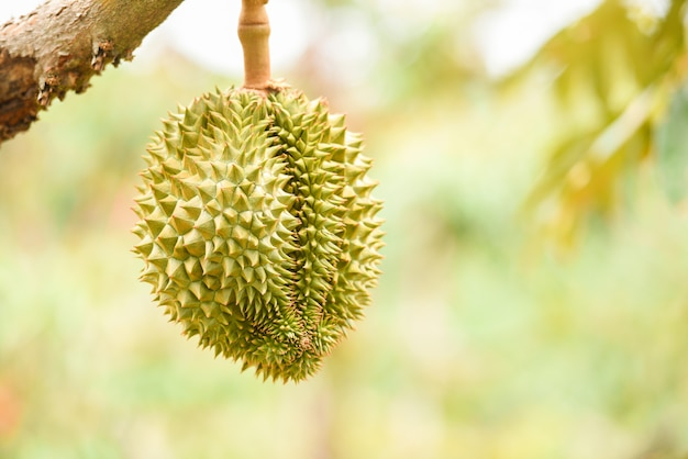 Vers durian fruit opknoping op de durian boom in de tuin boomgaard tropisch zomerfruit te wachten op de oogst natuur boerderij op de berg - durian in thailand