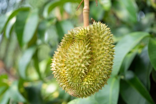 Vers durian, tropisch fruit in thailand