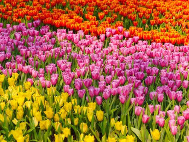 Vers en aard een groep kleurrijke tulp die in de tuin selecteren selecteert ondiepe diepte van gebied, de achtergrond van de tulpenbloem, tulpengebied