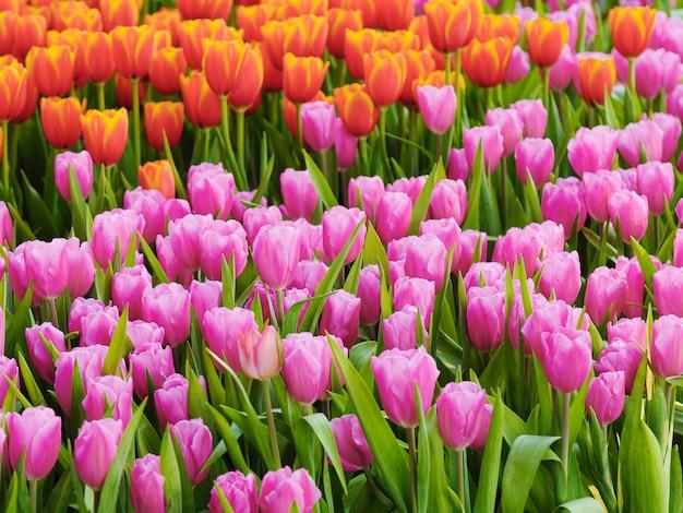 Vers en aard een groep kleurrijke tulp die in de tuin uitgezochte nadruk ondiepe diepte van gebied bloeien, de achtergrond van de tulpenbloem
