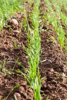 Vers gegroeid groen tarwegras in rijen