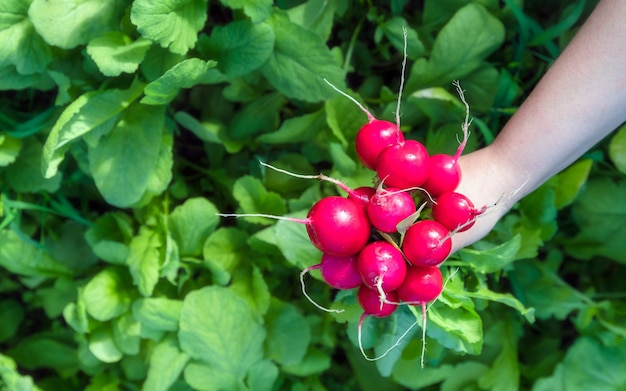 Vers geoogste radijs van eigen bodem. biologische groenten kweken. stedelijke landbouw