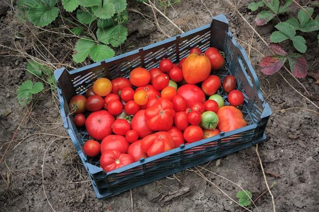 Vers geoogste rode, groene en oranje tomaten in plastic doos op tuinbed