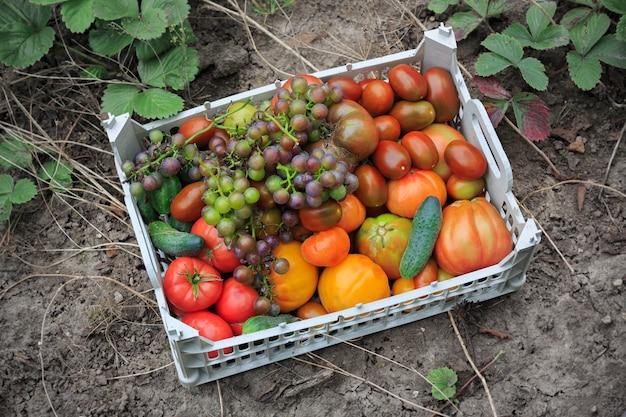 Vers geoogste tomaten, druiven en komkommers in lichtgrijze plastic doos op tuinbed