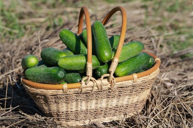 Vers geplukte groene biologische komkommers in rieten mand staande op hooi. zomer en vers gezonde eco-groenten op agrarische boerderij bij zonnig weer.