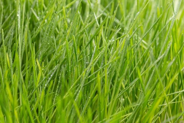 Vers groen gras met dauw druppels close-up. natuur achtergrond
