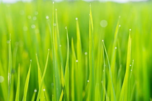Vers groen gras met dauwdruppels in de zon op auttum. abstracte onscherpe achtergrond. natuur achtergrond. textuur.