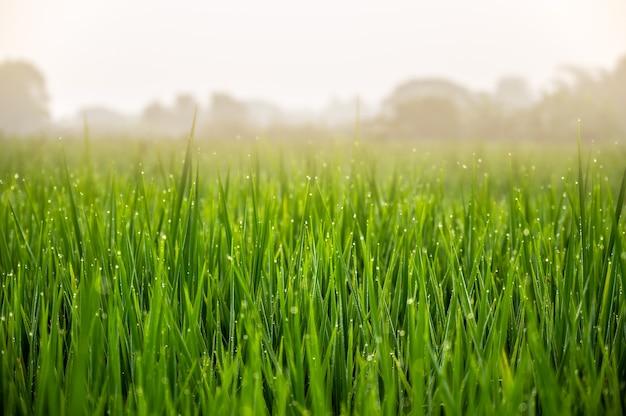 Vers groen gras met waterdauwdruppels in de vroege ochtend. schoonheidsachtergronden met gebladerte.
