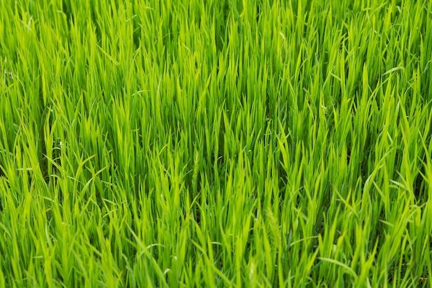 Vers groen gras of gazon textuur oppervlak, lente natuurlijk patroon