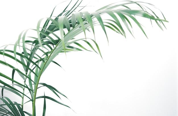 Vers groen kokospalmblad op witte achtergrond met kopieerruimte voor tekst of uw producten