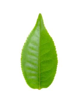 Vers groen theeblad dat op witte achtergrond wordt geïsoleerd