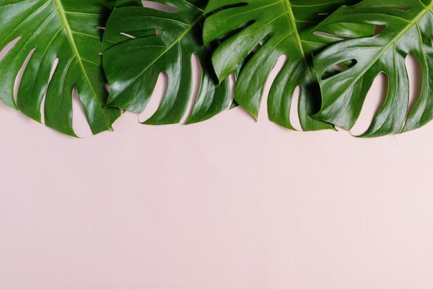 Vers groen tropisch monstera-blad op roze achtergrond met exemplaarruimte