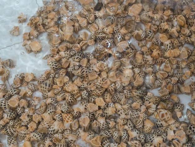 Vers levend gevlekt babylon of areola babylon of zoete kokkels onder water in witte tank. bewegende schelpdieren. verse zeevruchten verkopen op de markt