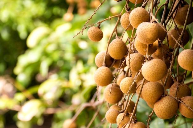 Vers longan fruit hangend aan een tak met groene bladeren klaar om te oogsten in de landbouwboerderij.