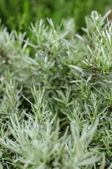 Vers rozemarijnkruid kan buiten worden gekweekt. rozemarijn verlaat close-up.