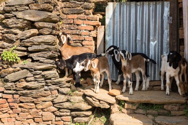 Verscheidene jonge geiten die zich dichtbij een steenmuur bevinden