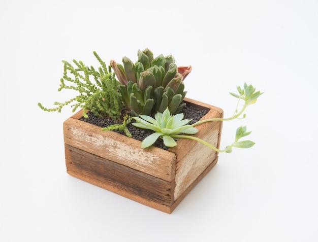 Verscheidenheid oflittle vetplanten plant in houten pot voor decoratieve huis geïsoleerd op een witte achtergrond
