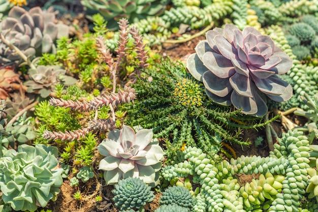 Verscheidenheid van succulente installaties van de cactussenagave bij de tuin, close-up.