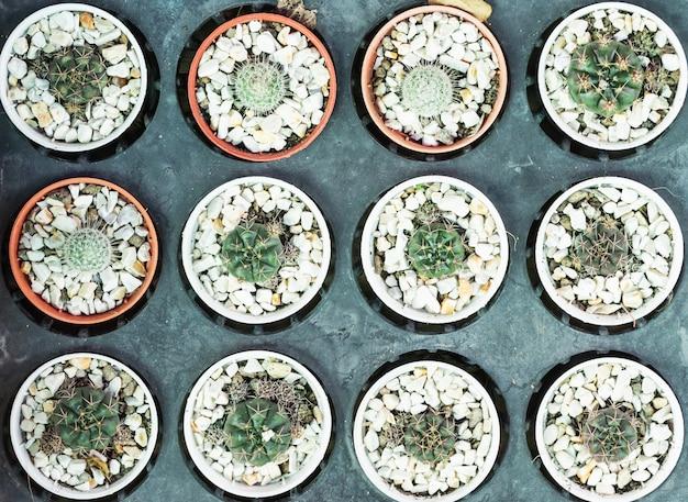 Verscheidenheids kleine cactus in pot