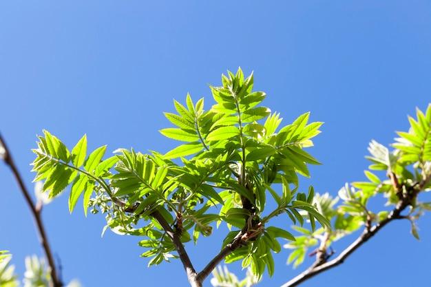 Verschenen verse nieuwe groene bladeren van een lijsterbes in de lente. op de achtergrond een blauwe lucht. het loof wordt verlicht door zonlicht. foto close-up