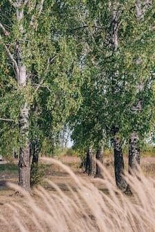 Verschillende berkenbomen groeien in de zomer op een rij