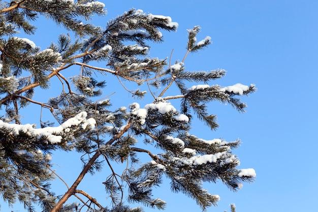 Verschillende dennentakken met de lucht erop, tegen de blauwe lucht in de wintervorst
