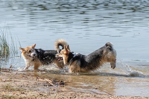 Verschillende gelukkige welsh corgi-honden spelen en springen in het water op het zandstrand