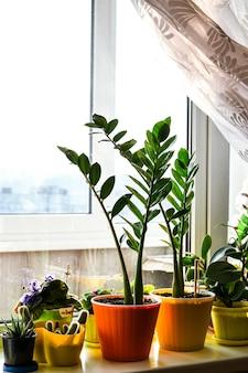 Verschillende groene potplanten in de buurt van raam thuis. vensterbank. blijf thuis. zaailingen, ingemaakte bloemen, zorg voor bloemen thuis. groene bloemen in de potten op het raam. tropische zamioculcas, groene bladeren
