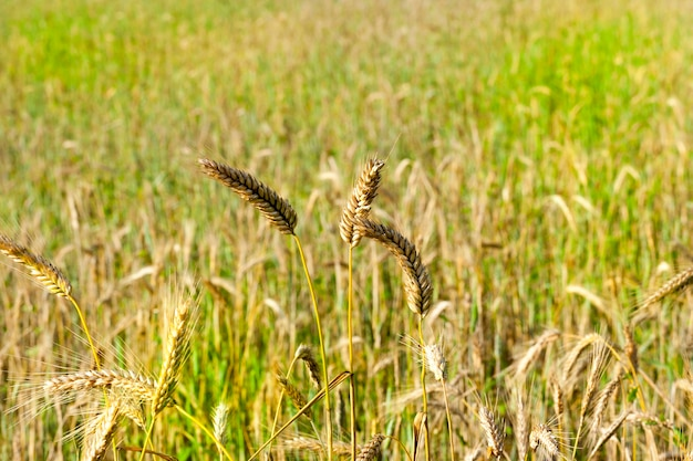 Verschillende hoge rijpe rogge in de zomer, close-up van de natuur tegen een achtergrond van groene planten