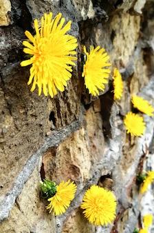 Verschillende kleuren gele paardebloemen hangen aan een bakstenen muur