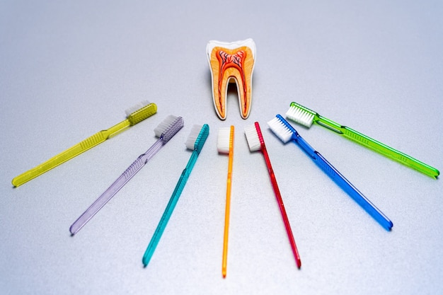 Verschillende kleurrijke tandenborstels liggen rond het educatieve tandmodel.