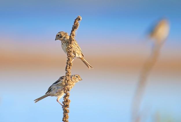 Verschillende korengors (emberiza calandra) zitten op een droge stengel tegen een heldere lucht
