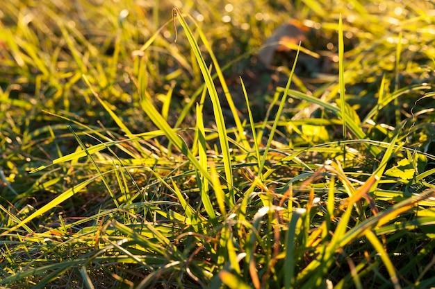 Verschillende nieuwe, zonlicht glanzende tarwekiemen, gegroeid op de plek waar het gras droogt en bevriest