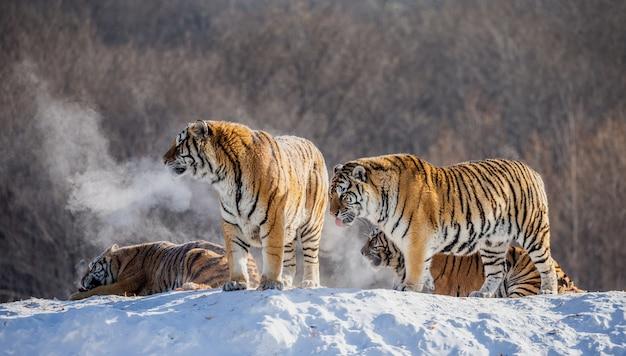 Verschillende siberische tijgers op een besneeuwde heuvel tegen de achtergrond van winterbomen. siberische tijgerpark.