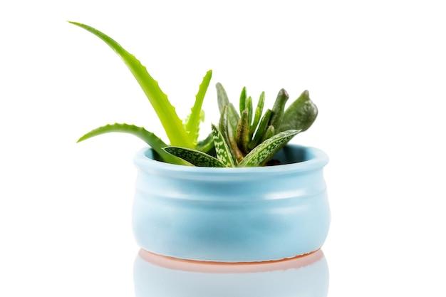 Verschillende soorten kleine gedomesticeerde vetplanten in een blauwe pot
