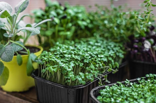 Verschillende soorten microgroenten in containers zaadkieming thuis