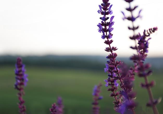 Verschillende stengels van salie bloemen groeien in de wei. de achtergrond is erg wazig