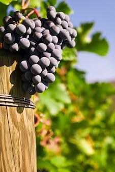 Verschillende trossen van rijpe druiven aan de wijnstok