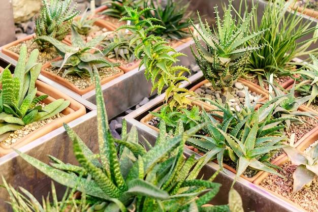 Verschillende verscheidenheden van de cactus van aloëvera in bloempotten, aard