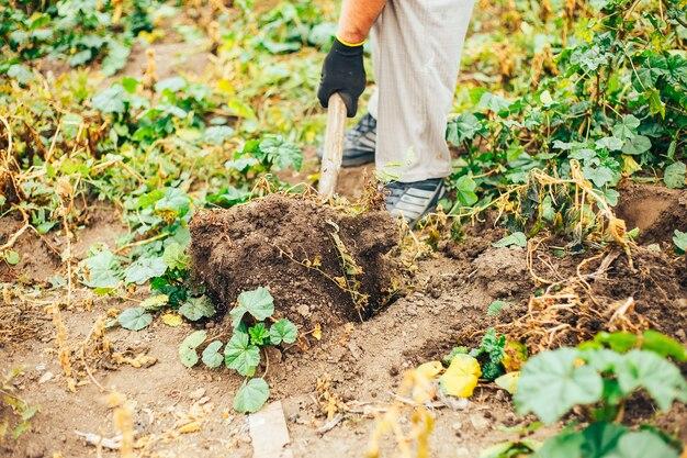 Verse aardappelen graven van de grond in de boerderij. aardappeloogst.
