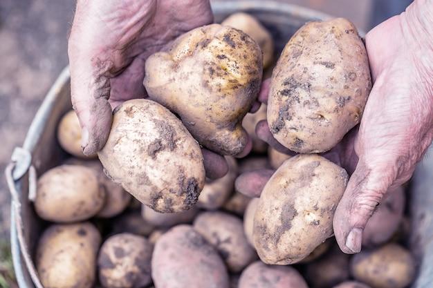 Verse aardappelen in handen van de oude oudere boer boven de emmer.