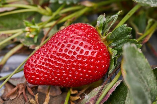 Verse aardbeien plukken op de boerderij, close-up van verse biologische aardbeien die aan een wijnstok groeien.