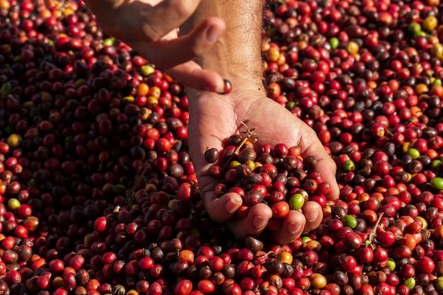 Verse arabica koffiebessen. biologische koffieboerderij