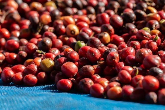 Verse arabica-koffiebessen